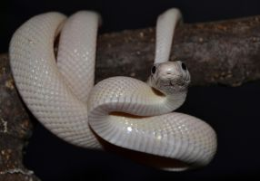 Texas Ratsnake by Mr-Goldfish