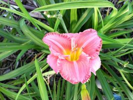 Day Lily by Sanluris