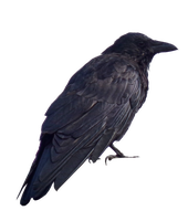 Crow PNG.. by WelshDragonStockNArt