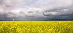 Blackbird In Mustard Field by Allen59