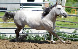 Grey quarter horse canter angled by equustock