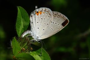 Eastern-tailed Blue laying Eggs by natureguy