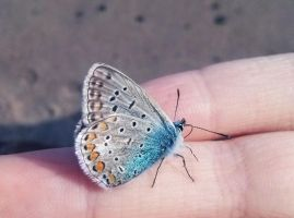 Mountain alcon blue butterfly by AnastasiyaKosenko