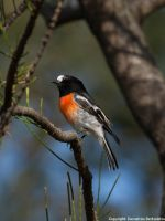 Scarlet Robin by SirTimid
