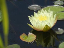 Water Lily by 86Botond