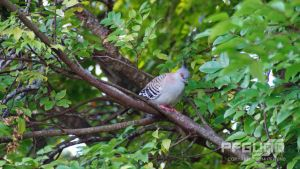 Pigeon In a Tree by pfgun0
