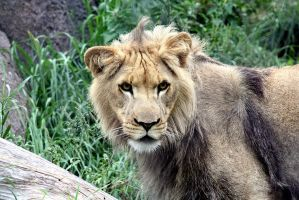Young male lion. by sweatangel