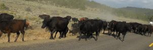 Cattle Drive on Oregon Highway by LEXLOTHOR