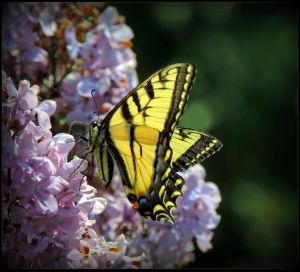 Yellow Butterfly by JocelyneR