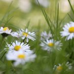 Field of daisies by lieveheersbeestje