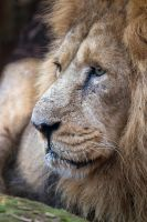 Asiatic Lion by LASlocombe
