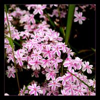 Banal Thread ... White And Pink Stars by skarzynscy