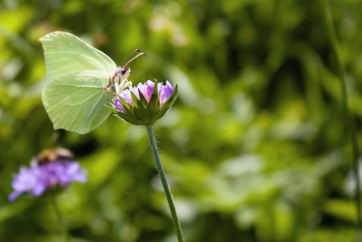 cabbage butterfly by Irina469