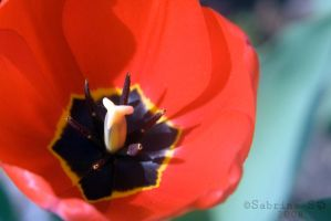 Red Tulip by aheria