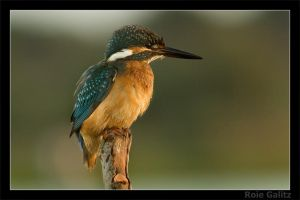 Fluffy Kingfisher by RoieG