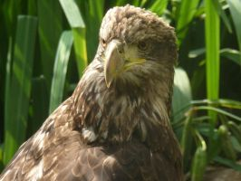 Golden Eagle IV by GiovediStorm-Shade
