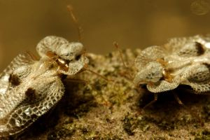 Sycamore Lace Bugs by webcruiser