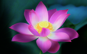 'Lotus Flower' HDR Mac OS Lion by FataMorgana2012