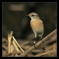 Stonechat - Saxicola torquata by invisiblewl