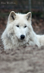 White Wolf by VitaniFox85