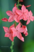 Pink Beauties by Emnais