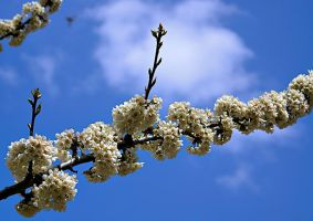 Spring Blossom by gors