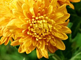 Yellow Chrysanthemum flowers III by a6-k