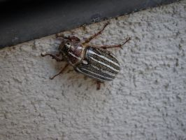Unknown Beetle by stephuhnoids