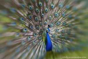 Peacock by FForns