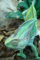 Cameleon Close up by Karla-Chan