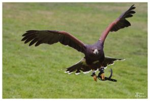 Harris Hawk - Visitor by W0LLE
