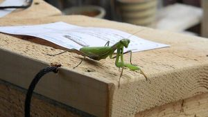 Woodworking Mantis by EndOfGreatness