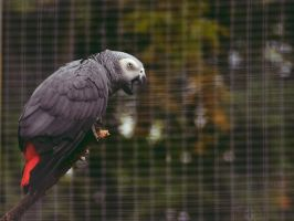 African grey parrot by Roky320