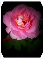party rose by Steven-Becker