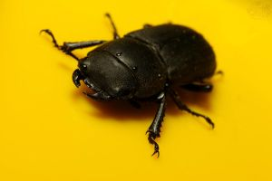 Dorcus parallelipipedus by webcruiser