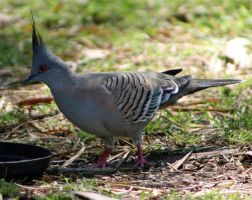 Bronzewing Pidgeon by SpamDragon