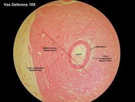 Under the Microscope - Vas Deferens by Astridyl