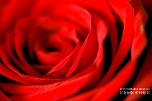 Rose in macro by elskamer
