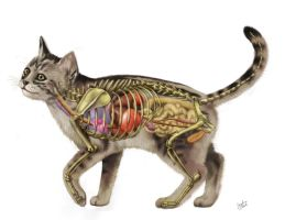 Cat Anatomy V2.0 by JacquelineRae