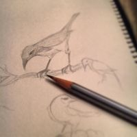 Scrub jay study by SylvanCreatures