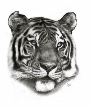 Tiger, 32x25 graphite by 26lisamarie