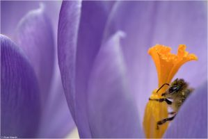 Crocus vernus with bee by Aphantopus