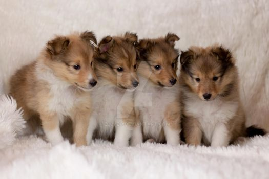 Sheltie Puppies by ellyeo