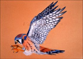 American Kestrel by Verenique