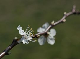 It's blossom time... by clochartist-photo
