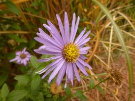 Campus Aster by SrTw