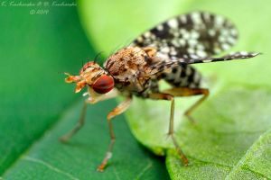 Sciomyzidae fly by Dark-Raptor