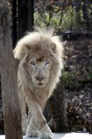 White Lion II by njbartworks