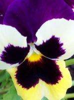Perspective Pansy by TheLuckyStarhopper