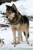Timber Wolf / Timberwolf 3 by bluesgrass